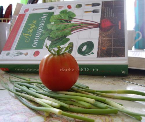 Наш июньский помидор